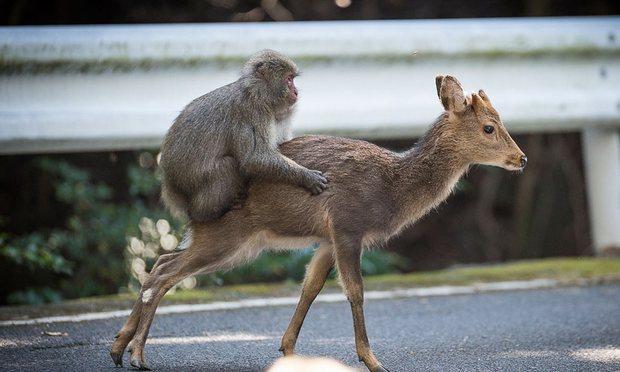 Monyet natan salju memperksa rusa betina/ Guardian