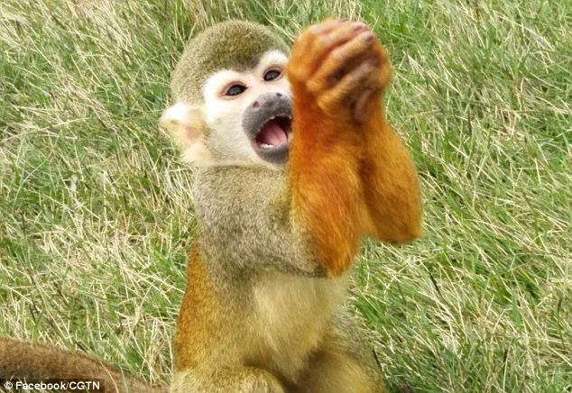 monyet tupai yang lucu mimiknya