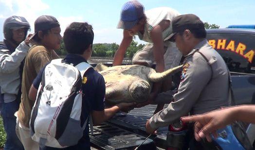 Warga dan kepolisian serta Dinas terkait Kabupaten Probolinggo mengevakuasi dan melepas penyu hijau yang dilindungi.