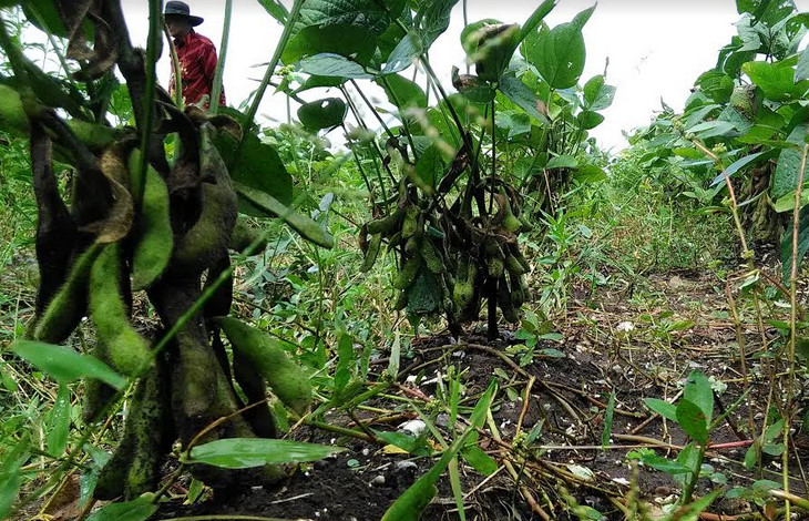 Hasil tanaman Edamame di lahan seluas 1 hektar di Desa Bulang Kecamatan Gending Kabupaten Probolinggo Jawa Timur