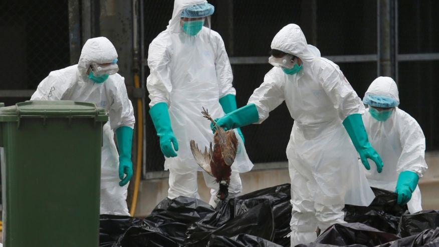 Penanganan unggas yang mati terkena virus flu burung/ Fox