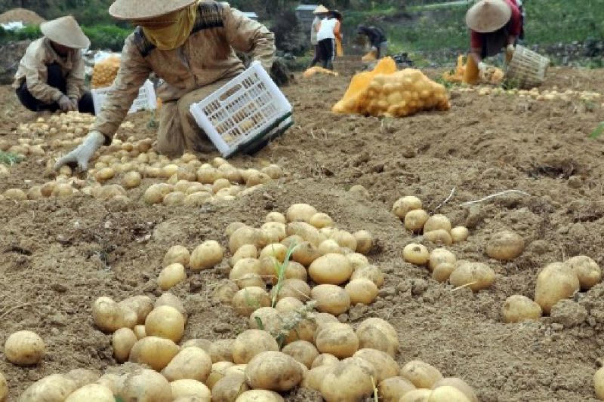 Petani kentang di Kab. Probolinggo. Penghasil keripik kentang yang dikirim ke seluruh Indonesia.