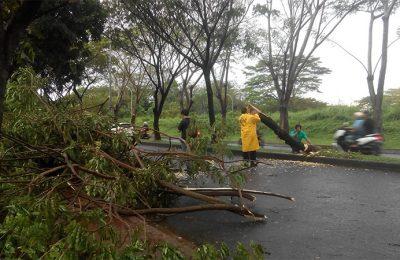 Pohon tumbang akibat hujan dan angin kencang di wilayah Tangerang Selatan. (foto: yar)