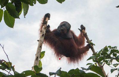 Orangutan jantan dewasa masuk ke kebun jabon warga berhasil ditembak bius . (foto: das)
