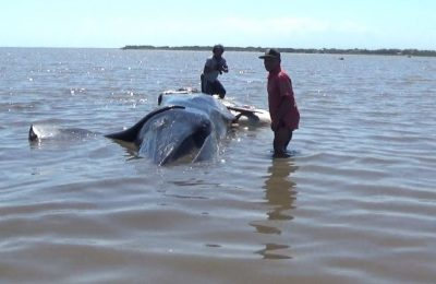 Ikan paus yang terdampar dusun Medokan, Desa Tongas Wetan, Kecamatan Tongas Kabupaten Probolinggo. (foto: dic)