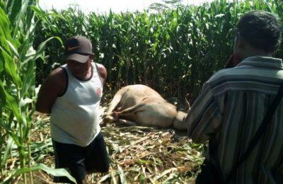Sapi yang diduga hasil curian ditemukan warga di perkebunan tebu (foto rik)