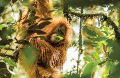 Orangutan Tapanuli (Pongo Tapanuliensis)