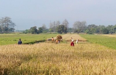 Petani sedang memanen hasil padinya. (foto :abd)