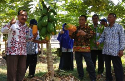 Wabup Yoyok Mulyadi, saat melakukan panen raya buah pepaya jenis  merah delima milik Budiono, salah seorang petani asal Kelurahan Dawuhan, Kecamatan Kota, Situbondo. (Foto: fat)