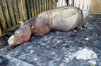 Iman, badak Sumatra di Malaysia mendapatkan perawatan intensif akibat sakit dideritanya/ Star Online