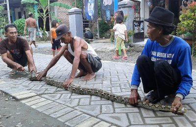 Ular piton dengan panjang 3 meter dan bobot 50 kg saat ditangkap warga. (foto:dik)