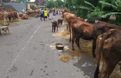 Warga korban banjir di wilayah Madiun ungsikan ternakmereka di pinggir jalan aya. (Foto/Hap)