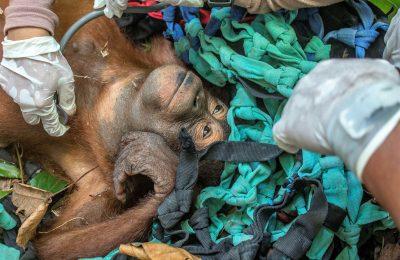 Bayi Orangutan yang berhasil diselamatkan tim gabungan Balai Konservasi Sumber Daya Alam Barat (BKSDA) Kalimantan Barat. (foto:fat)