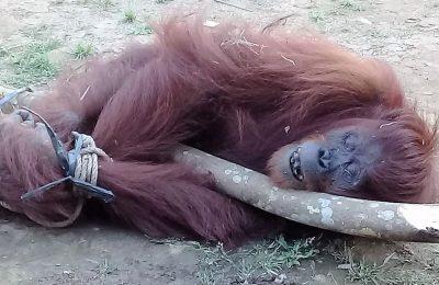 Orangutan yang berhasil ditangkap warga. (foto:ist)