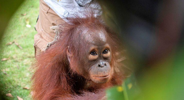 Kanaya, bayi orangutan yang berhasil diselamatkan International Animal Rescue  (IAR)  Indonesia  dari Dusun II Ampon, Desa Krio Hulu,  Kecamatan Hulu Sungai, Kabupaten Ketapang. (foto:das)