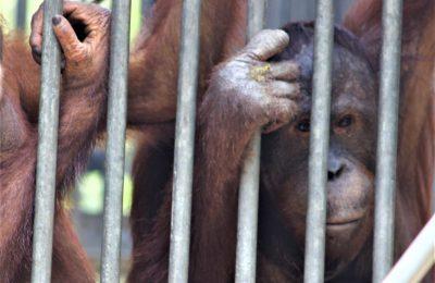 7 individu orangutan terancam akibat kebakaran hutan di Kalimantan Barat