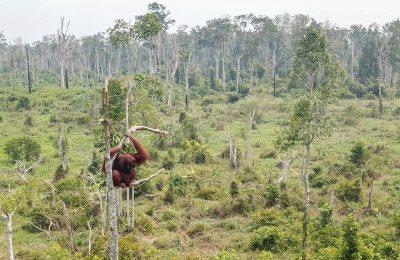 Orang utan jantan terjebak di kawasan hutan yang kritis, habitatnya terbakar sehigga orang utan ini menyelamatkan diri. (foto:ist)