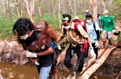 Tim IAR saat mengevakuasi orangutan yang terjebak di lahan dan hutan yang terbakar di Kabupaten Ketapang, Kalimantan Barat. (Fhoto :istimewa)