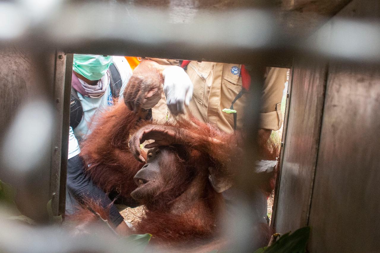 Rescue Orangutan yang terjebak kebakaran hutan dan laha. (Fhoto :istimewa) :