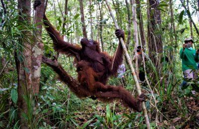 Tim gabungan IAR Indonesia, BKSDA Kalbar, dan Babinsa, Selamatkan Sepasang Induk-Anak Orangutan dari Habitatnya yang Musnah Terbakar. (foto:ist)