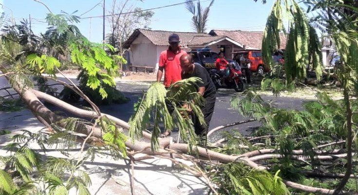 Diterjang angin kencang, salah satu pohon tumbang di jalur pantura Situbondo. (foto:fat)