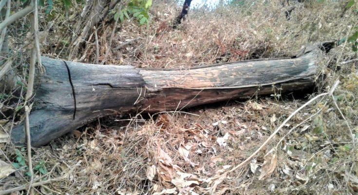 Potongan kayu sonokeling berserakan di areal perhutani di Dusun Cottok, Desa Kayumas, Arjasa, Situbondo. (foto:fat)