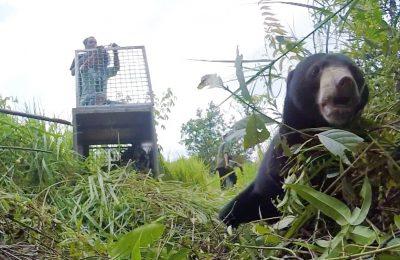 Nanjung, Beruang Bertangan Satu Kembali ke Alam Liar. (foto:das)
