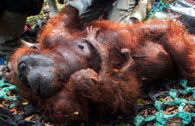 Mama qia, individu orangutan berserta bayinya tengah mendapat perwatan dari tim BKSD Kalbar. (foto:das)