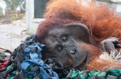 Orangutan kembali masuk ke kebun warga untuk mencari makan. (foto.Ist)