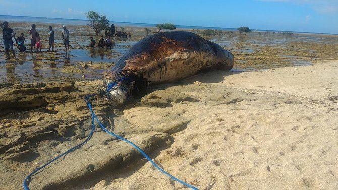 Bangkai paus ditemukan terdampar di pesisir pantai Rote Ndao. (foto,Ist)