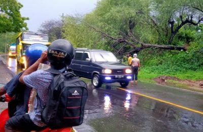 akibat diguyur hujan pohon di jalan pantura Situbondo tumbang. (foto:fat)