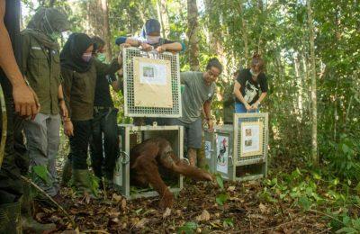 Balai Taman Nasional Bukit Baka Bukit Raya (BTNBBBR) bekerjasama dengan Balai Konservasi Sumber Daya Alam (BKSDA) Kalimantan Barat dan mitra IAR Indonesia kembali melakukan pelepasliaran pasangan anak-induk asuh bernama Monti dan Anggun di dalam kawasan TNBBBR wilayah kerja SPTN 1 Nanga Pinoh, Resort Mentatai