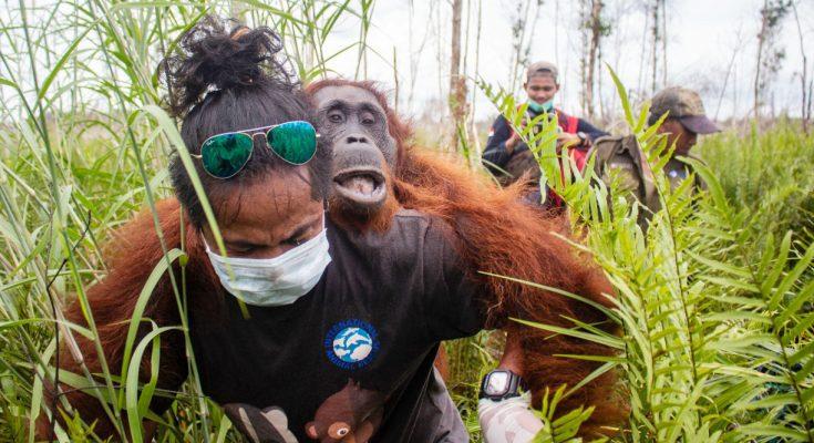 Balai Konservasi Sumber Daya Alam (BKSDA) Kalimantan Barat Seksi saat menyelamatkan dua individu orang utan. (foto:fat)