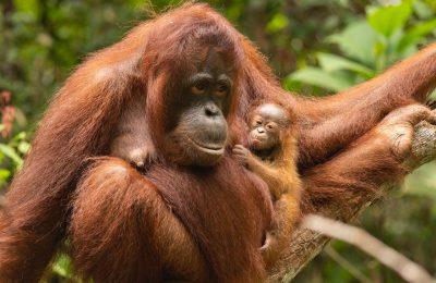 Sinar, Bayi Orangutan Baru di TN Gunung Palung
